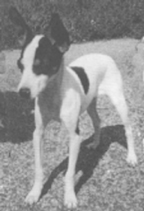 Toy Fox Terrier that passes a health test