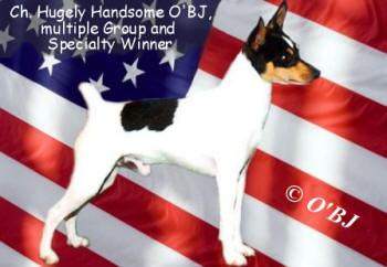 Toy Fox Terrier Ch. Hugely Handsome O'BJ