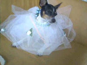 "Toy Fox Terriers are High Fashion! Toopsa - Owners, top fashion designer ""Berangere"""