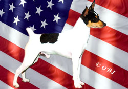 Toy Fox Terriers are All American!