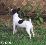 JANE WAS OUR PRE-AKC TOY FOX TERRIER FOUNDATION BITCH