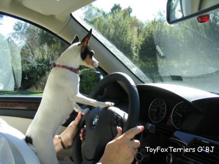 Jazzie Ritchie is a Toy Fox Terrier that can steer you to the right information!