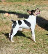 Toy Fox Terrier male - Johnny at just over 5 pounds.