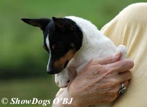 Zona Baby, 4 months old Toy Fox Terrier female