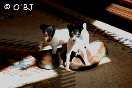 Toy Fox Terrier Puppies get up early! Lucky Dog and Lollipop trying to find Bill's feet.