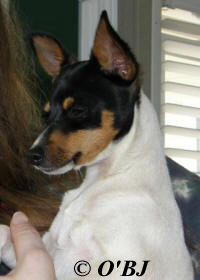 MALE TOY FOX TERRIER PUPPY at 4 MONTHS