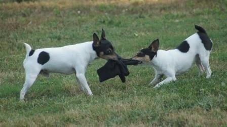 TOY Fox Terriers playing tug-o-war, the TFT loves to play
