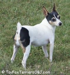 Toy Fox Terrier Champion female Sally Jo