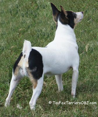 Toy Fox Terriers should be under ten pounds but sturdy