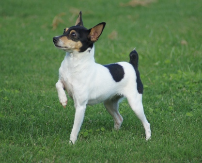 Toy Fox Terrier female - Sucha at 17 months in her lady-like pose